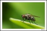 Une mouche en attente sur une feuille