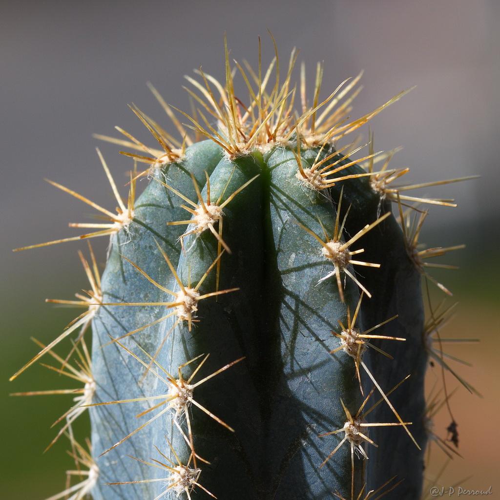 70-300 Sigma APO-cactus-0048.jpg