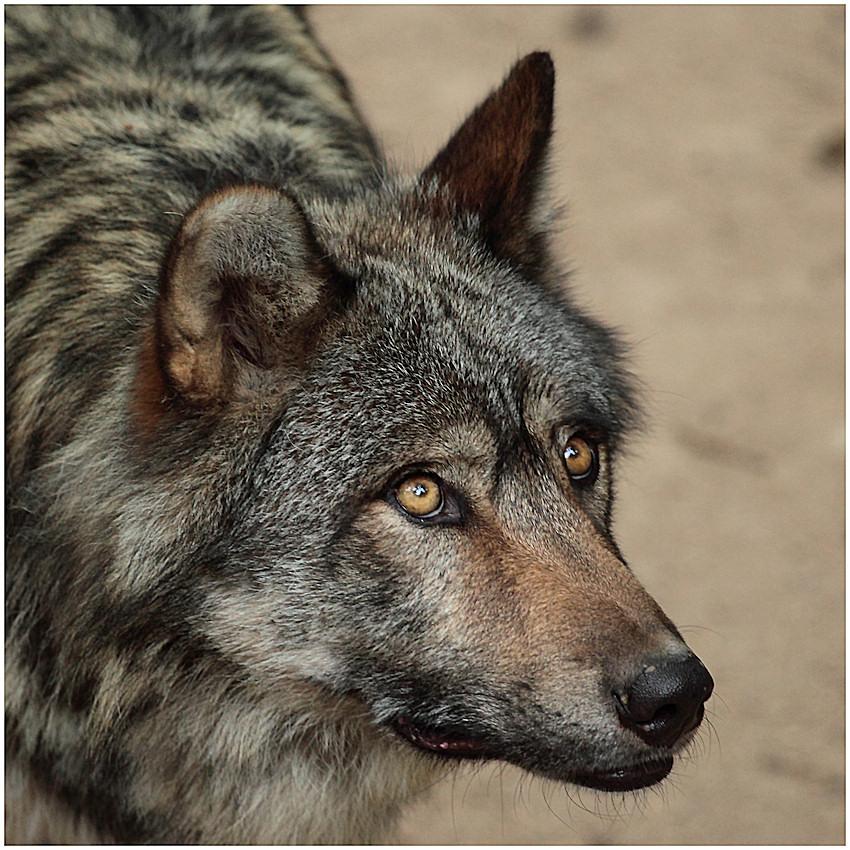 Image 4 sur 5 de l 39 album animaux du safari parc de peaugres - Animaux a gros yeux ...