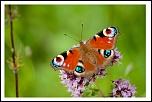 Thème du 24-05-2004 au 06-06-2004-papillon1.jpg