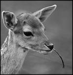 Bambi .......