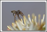 Pardosa sp. MG 2325 EOS