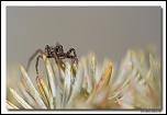 Pardosa sp. MG 2293 EOS
