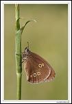 Tristan (Aphantopus hyperantus) MG 0916 EOS
