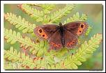 Moiré sylvicole (Erebia aethiops ) IMG 7801 EOS