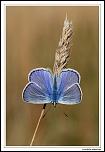 Azuré commun (Polyommatus icarus) MG 7813 EOS
