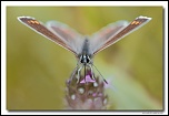 Azuré commun femelle (Polyommatus icarus) MG 1021 EOS
