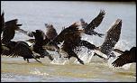 Tests d'objectifs-envol-de-cormorans.jpg
