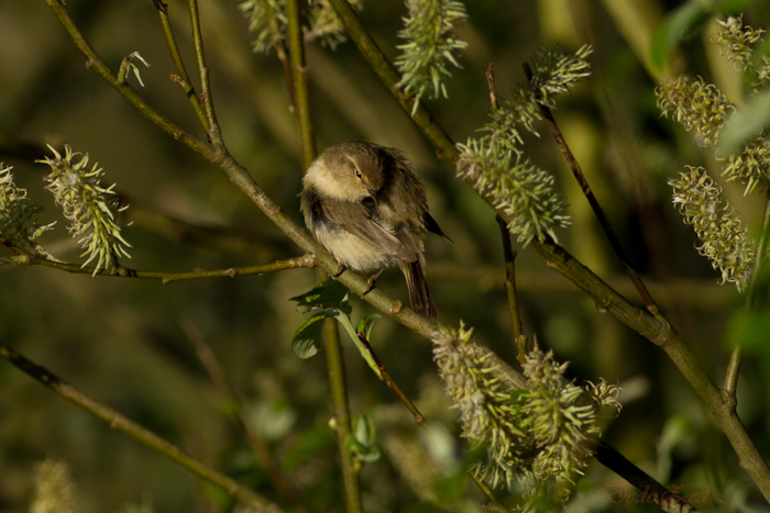 -oiseaux-st-agathe-et-harchies-7865-1.jpg