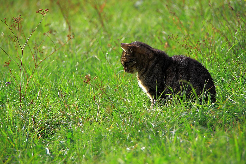 Chat chasseur de taupes