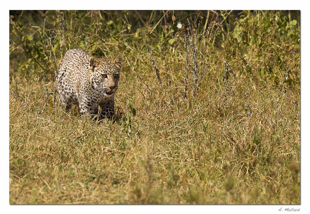 Ben bientot je vais pouvoir mitrailler-leopard-1_v2.jpg