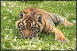 Tigresse de sumatra
