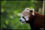 2013 cerza panda roux 1