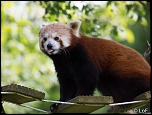 2013 cerza panda roux 2