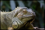 2013 cerza iguanes 1