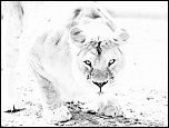2013 cerza lion 1