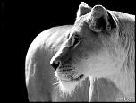 2013 cerza lion 3