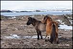Cheval islandais à Mývatn