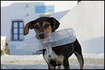 chien de santorin