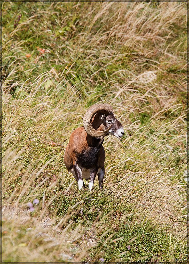 -mouflon-0154.jpg