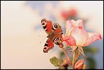 Bonjour à toutes et tous !...-papillon-et-rose.jpg