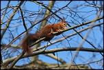 Écureuil roux
