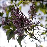 S13 le printemps - Grappes de lilas