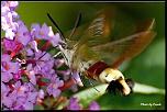 Petit sondage-sphynx-colibri2.jpg