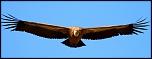 Qui a déjà acheté chez Digit-Photo.com-vautour-fauve1.jpg