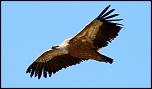 Qui a déjà acheté chez Digit-Photo.com-vautour-fauve2.jpg