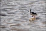 Oiseaux  de Noirmoutier