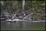 heron cormoran0026mod3r