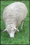 mouton000