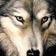 Avatar de loup-gris