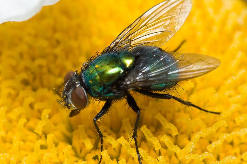 Une grosse mouche verte sur un coeur de fleur - Invasion de mouches vertes ...