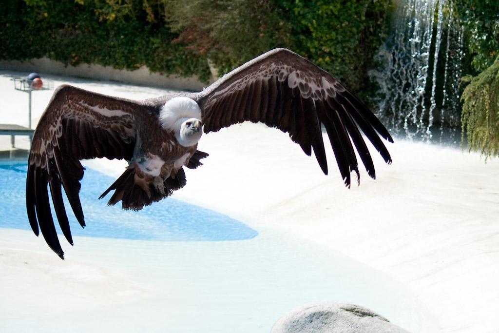 Les rapaces du zoo de beauval for Zoo yvelines 78