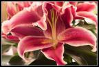 KVLF numéro 55 : Des fleurs....rien que des fleurs...
