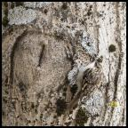 Le grimpereau des bois